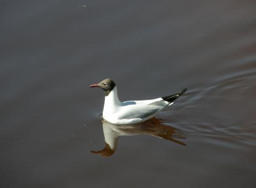 Чайка в реке
